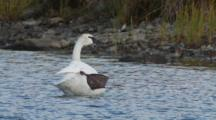 Trumpeter Swan On Kettle Pond Preening  Alaska