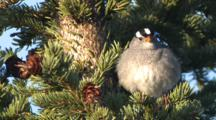 White Crowned Sparrow In Spruce Tree Sings Flaps Tail Alaska