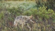 Young Gray Wolf Walks Through Willows Hunting Pauses Alaska