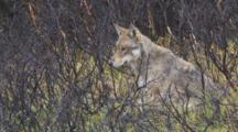 Young Gray Wolf  Sitting Down In Willows Gazes Out Acrosstundra Alaska