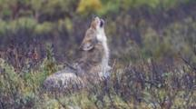 Young Gray Wolf  Lies In Willows Raises Head And Howls Alaska