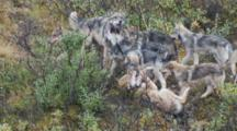 Gray Wolf Adult Corrects Pack Member Behavior Amidst Young Pups Alaska
