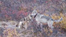 Wolf Pup Greets Alpha Wolf Other Pups Greet Alpha Wolf Ak