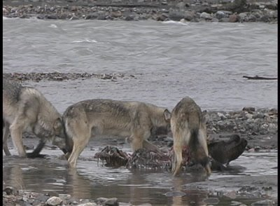 Wolves Feed On Moose Carcass - Grizzly Bear Approaches - Wolves Fight Defend Carcass