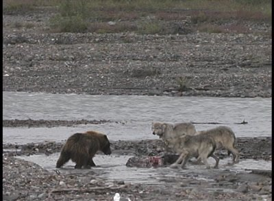 Grizzly Bear Approaches Wolf Pack to Take Moose Carcass