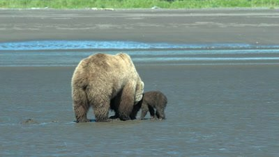Brown Bear and Cubs Clamming Alaska