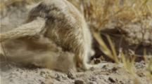 Meerkat Digging For Scorpions.