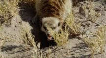 Meerkat Digging Then Eating Scorpion
