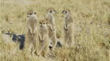 Four Meerkat Sentinels In The Kalahari.