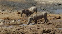 Warthog Family Drinking At Waterhole