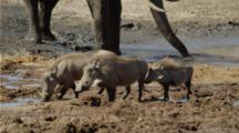 Warthog Family Drinking At Waterhole, Elephant Behind