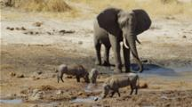 Elephant Splashing Itself At Waterhole. Warthogs In Foreground