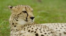 Cheetah Lying Down, Turns To Face Camera.