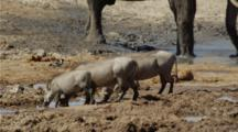 Warthog Family Drinking At Waterhole, Elephant Behind