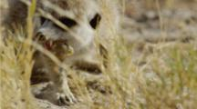 Meerkat Eating Scorpion Close-Up
