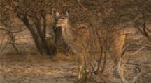 Greater Kudu - Drinking at waterhole