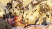 African Wild Dogs feeding