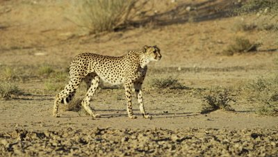 Cheetah (Acinonyx jubatus) - walking in desert then stops