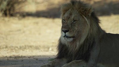 Lion - large black-maned male lying down