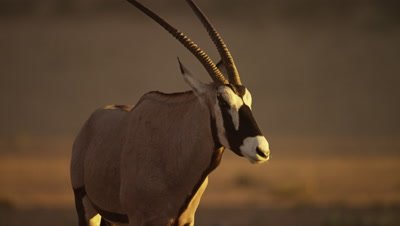 Gemsbok - walks toward camera,close shot