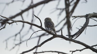 Pearl-spotted Owlet - sitting on branch looking around