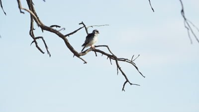 Pygmy Falcon - sitting on dead branch,wide