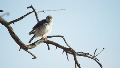 Pygmy Falcon - sitting on dead branch,preening