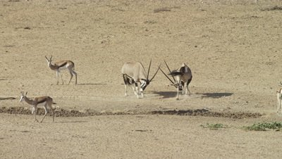 Gemsbok - at waterhole,pair showing threatening behaviour