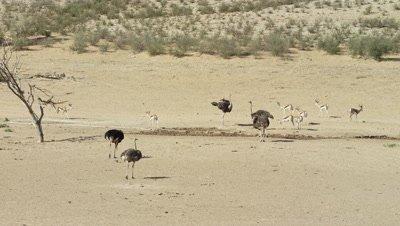 Ostrich - flock at waterhole,wide
