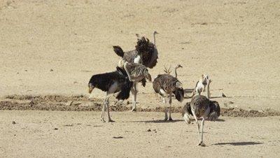 Ostrich - flock at waterhole