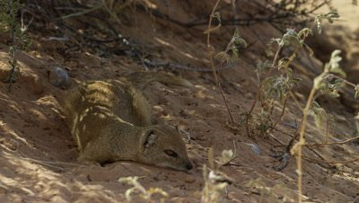 Yellow Mongoose - resting in shade,wide