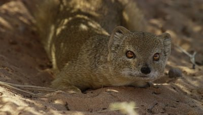 Yellow Mongoose - resting in shade,close