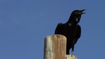 Cape Crow - medium,sitting on pole,calling