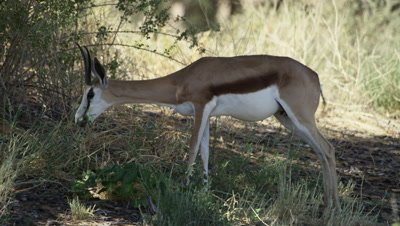 Springbok - pregnant female feeding,medium 2