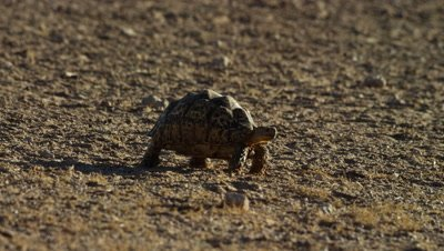 Leopard Tortoise - walking to right