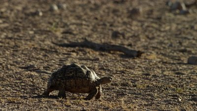 Leopard Tortoise - walking across frame