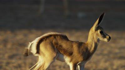 Springbok - baby walking