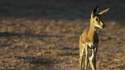 Springbok - lone baby looks around then walks away