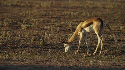 Springbok - lone buck grazing