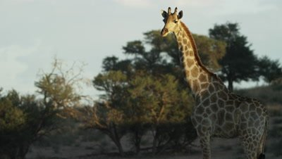 Giraffe - standing,trees in background