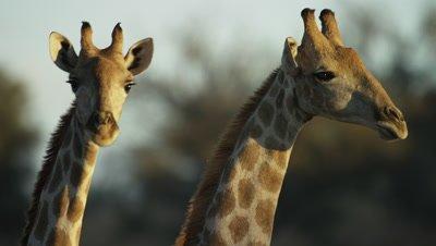 Giraffe - pair of heads,close shot