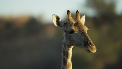 Giraffe - head,close shot