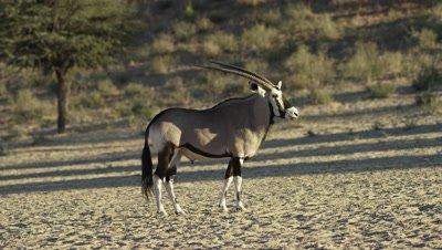 Gemsbok - lone male turns toward camera
