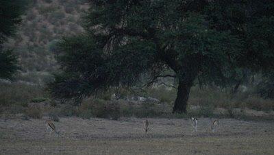 Springbok - herd feeding wide,tree in background