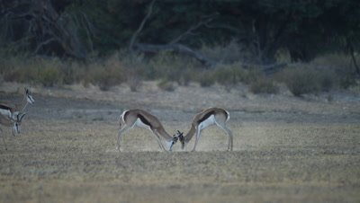 Springbok - pair of males fighting