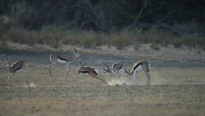 Springbok - males acting aggressively