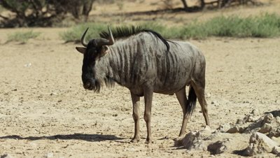 Blue Wildebeest - medium shot,standing