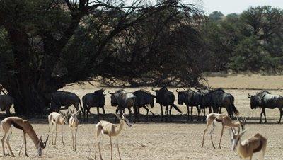 Blue Wildebeest - wide of herd standing under tree