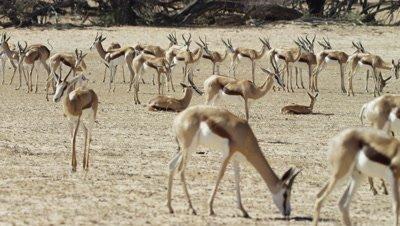 Springbok - large herd,grazing,resting