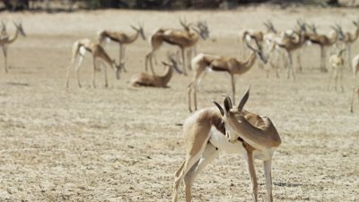 Springbok - herd with buck in foreground licking itself